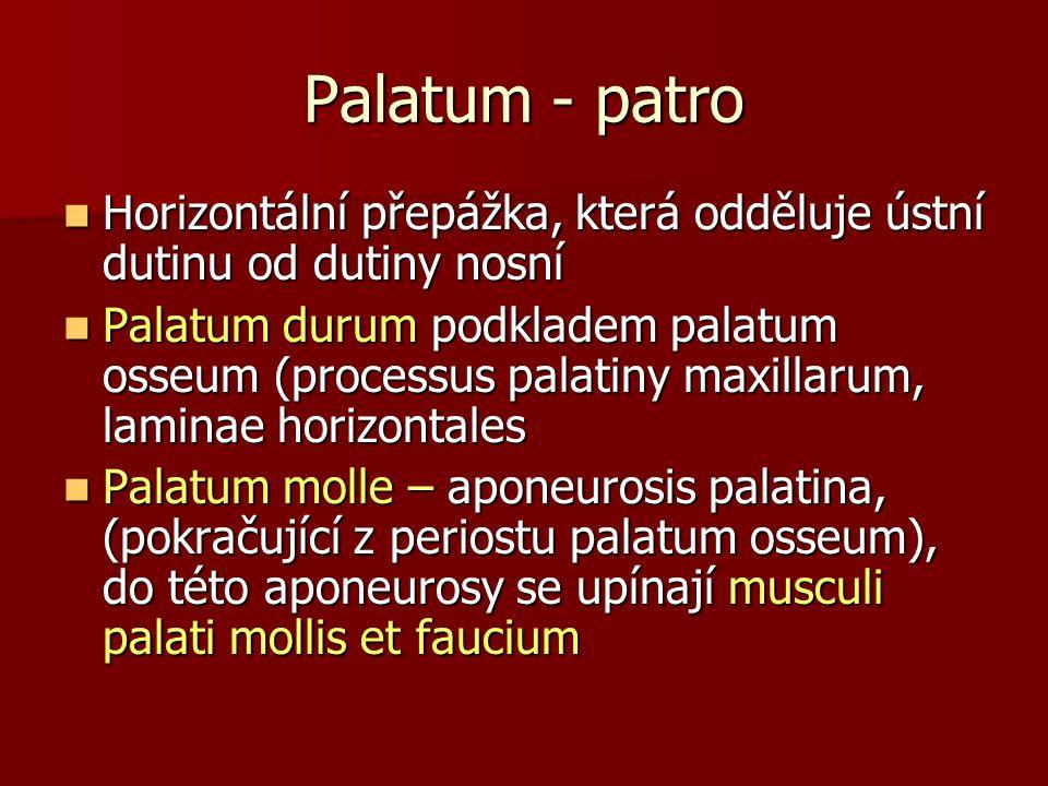Palatum - patro Horizontální přepážka, která odděluje ústní dutinu od dutiny nosní Horizontální přepážka, která odděluje ústní dutinu od dutiny nosní