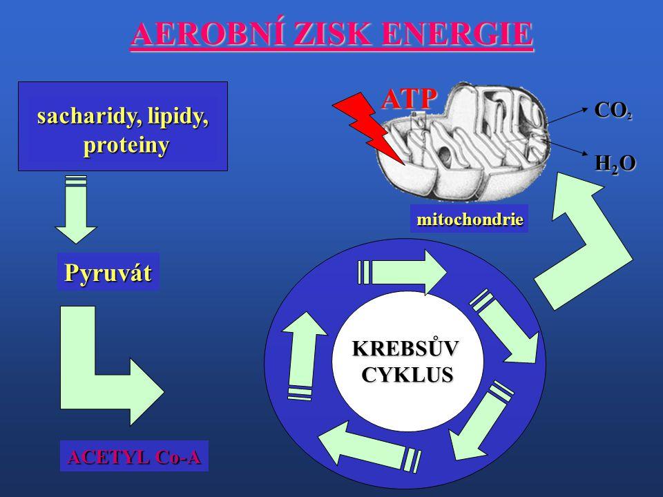 AEROBNÍ ZISK ENERGIE sacharidy, lipidy, proteiny proteiny Pyruvát KREBSŮVCYKLUS mitochondrieATP CO 2 H 2 O ACETYL Co-A