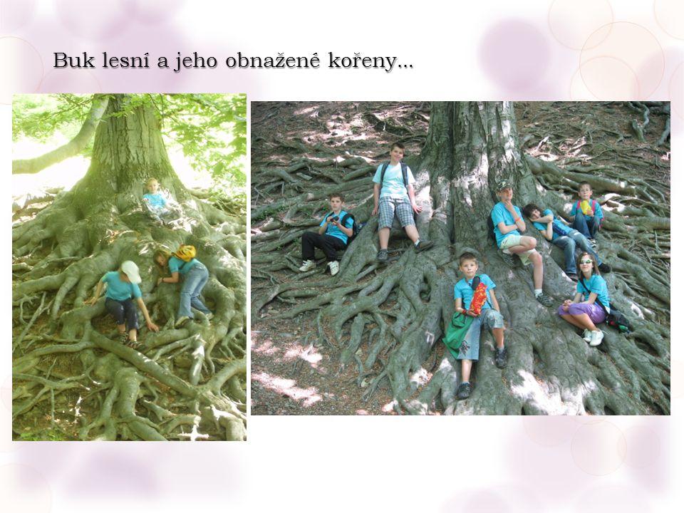 Buk lesní a jeho obnažené kořeny …