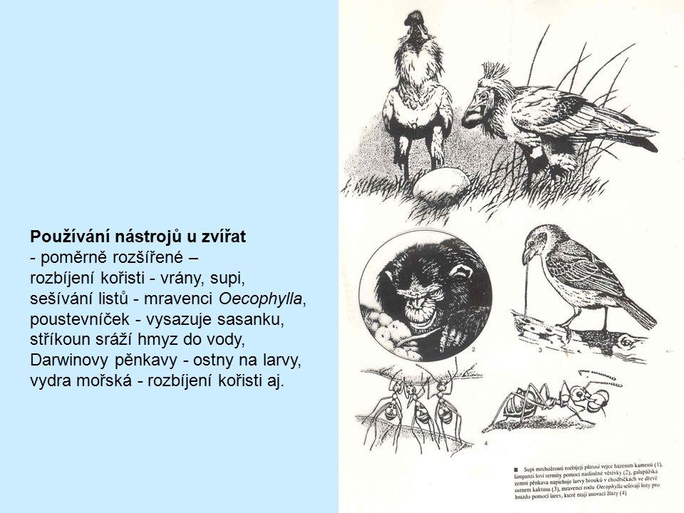 Používání nástrojů u zvířat - poměrně rozšířené – rozbíjení kořisti - vrány, supi, sešívání listů - mravenci Oecophylla, poustevníček - vysazuje sasan