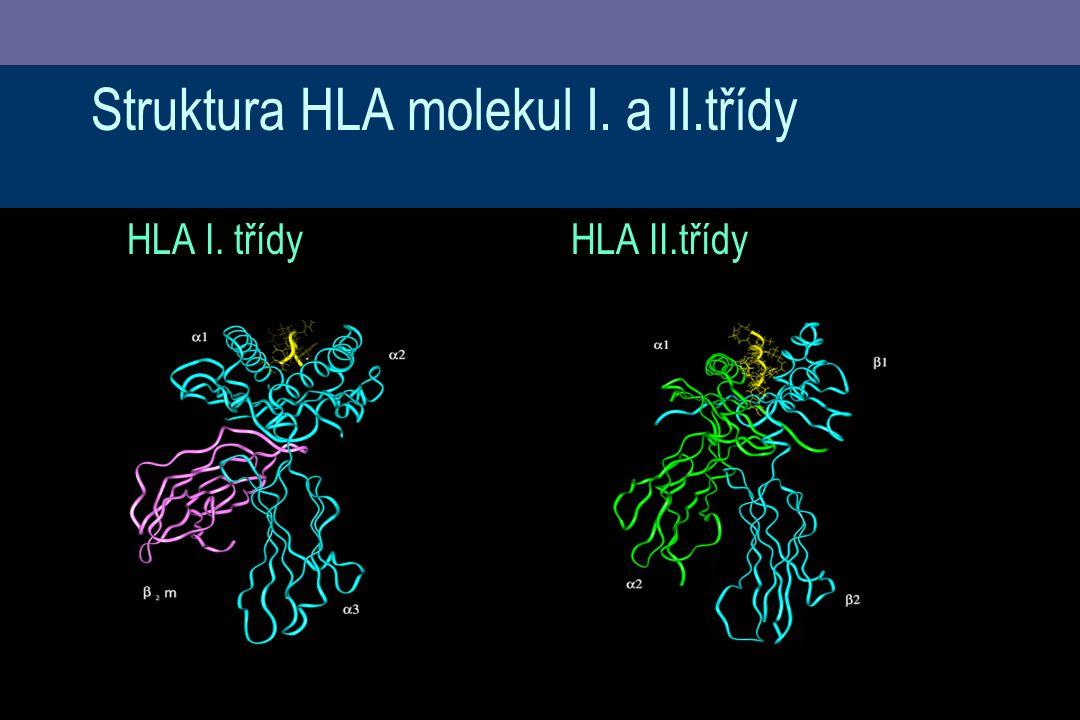 Struktura HLA molekul I. a II.třídy HLA I. třídyHLA II.třídy