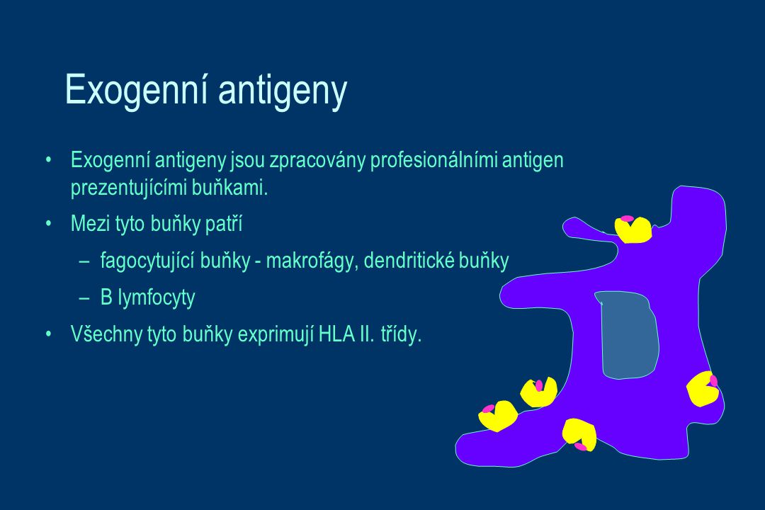 Exogenní antigeny Exogenní antigeny jsou zpracovány profesionálními antigen prezentujícími buňkami. Mezi tyto buňky patří –fagocytující buňky - makrof