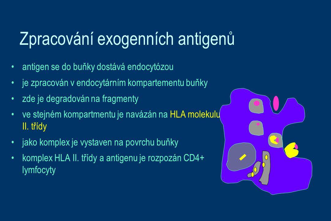 Zpracování exogenních antigenů antigen se do buňky dostává endocytózou je zpracován v endocytárním kompartementu buňky zde je degradován na fragmenty ve stejném kompartmentu je navázán na HLA molekulu II.