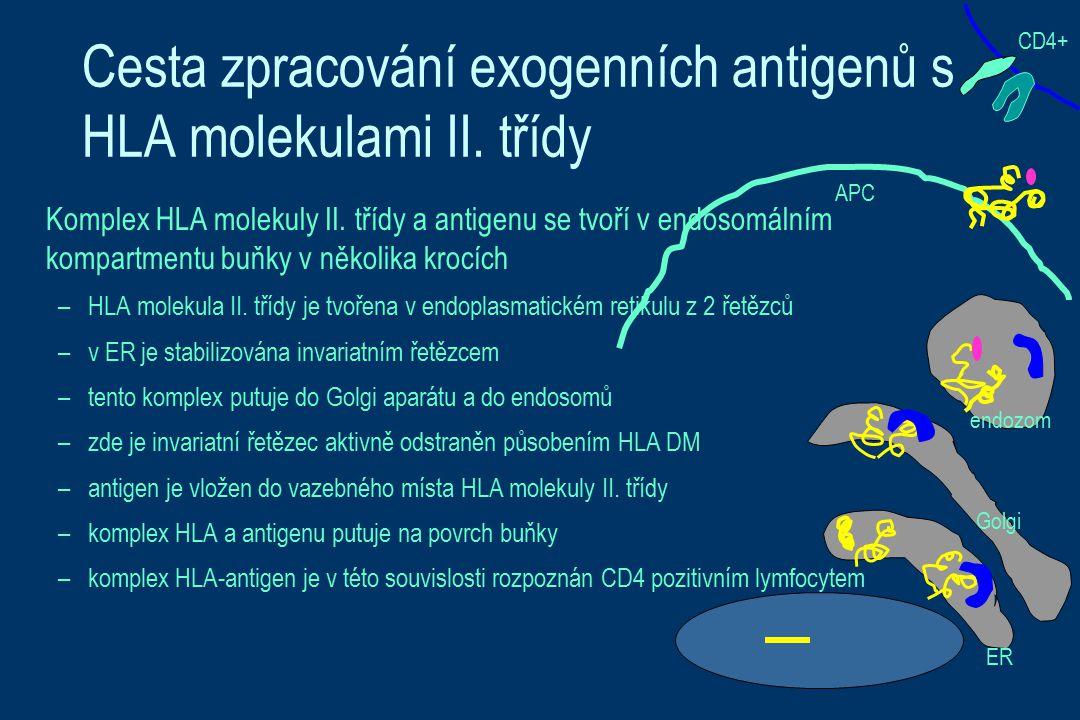 Cesta zpracování exogenních antigenů s HLA molekulami II. třídy Komplex HLA molekuly II. třídy a antigenu se tvoří v endosomálním kompartmentu buňky v