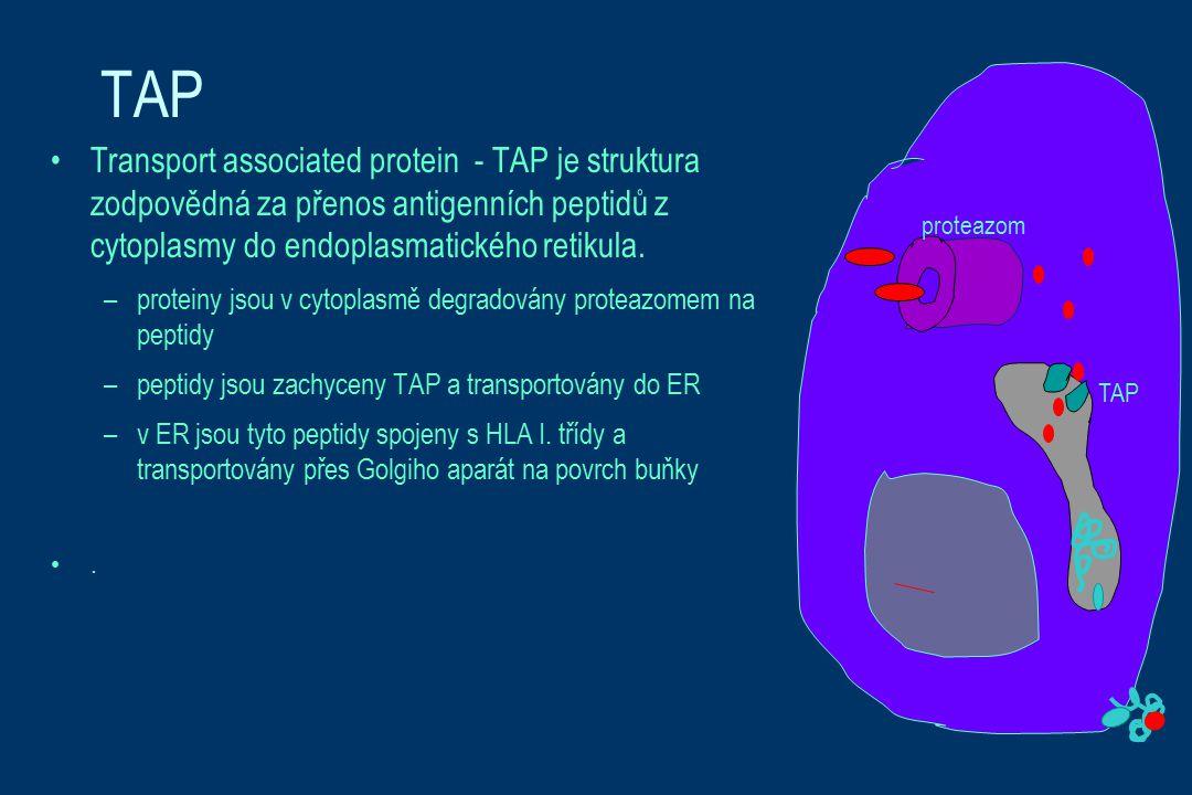 TAP Transport associated protein - TAP je struktura zodpovědná za přenos antigenních peptidů z cytoplasmy do endoplasmatického retikula. –proteiny jso