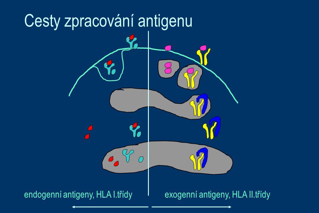 Cesty zpracování antigenu exogenní antigeny, HLA II.třídyendogenní antigeny, HLA I.třídy