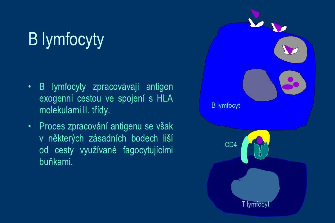 B lymfocyty B lymfocyty zpracovávají antigen exogenní cestou ve spojení s HLA molekulami II. třídy. Proces zpracování antigenu se však v některých zás