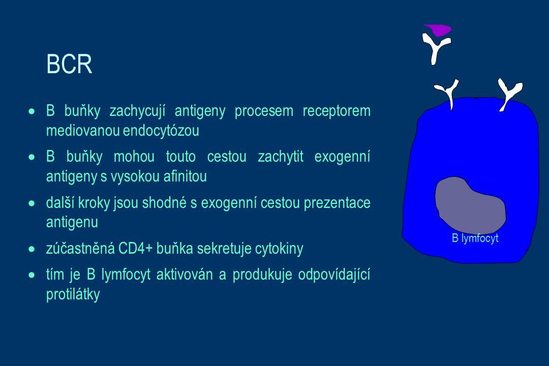 BCR  B buňky zachycují antigeny procesem receptorem mediovanou endocytózou  B buňky mohou touto cestou zachytit exogenní antigeny s vysokou afinitou  další kroky jsou shodné s exogenní cestou prezentace antigenu  zúčastněná CD4+ buňka sekretuje cytokiny  tím je B lymfocyt aktivován a produkuje odpovídající protilátky B lymfocyt