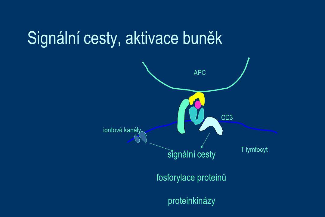 CD3 iontové kanály signální cesty fosforylace proteinů proteinkinázy APC T lymfocyt Signální cesty, aktivace buněk
