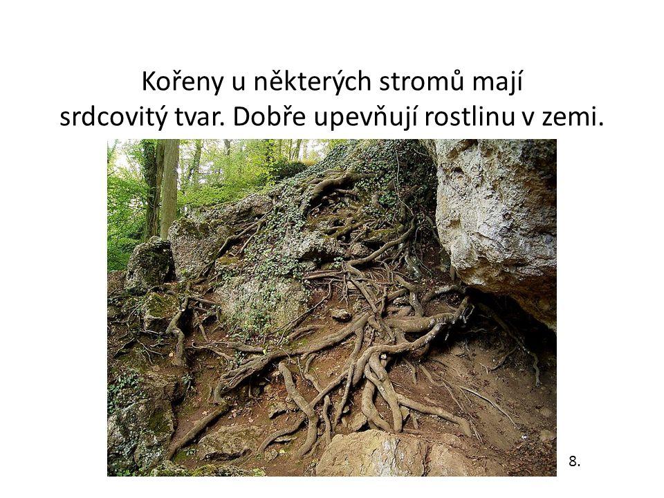 Kořeny u některých stromů mají srdcovitý tvar. Dobře upevňují rostlinu v zemi. 8.