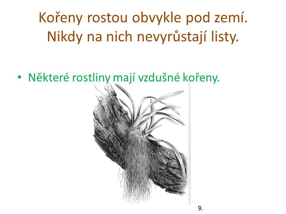 Kořeny rostou obvykle pod zemí.Nikdy na nich nevyrůstají listy.