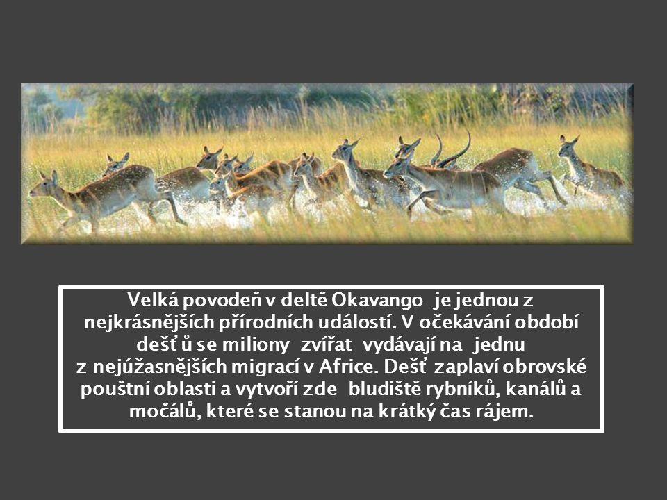 Velká povodeň v deltě Okavango je jednou z nejkrásnějších přírodních událostí.