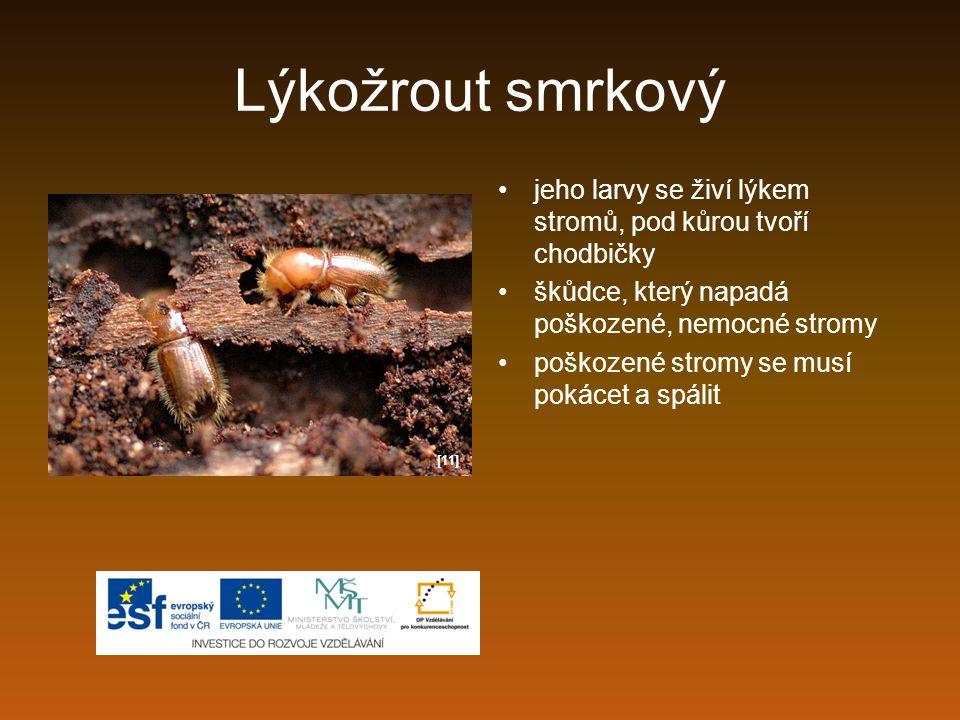 Lýkožrout smrkový jeho larvy se živí lýkem stromů, pod kůrou tvoří chodbičky škůdce, který napadá poškozené, nemocné stromy poškozené stromy se musí p