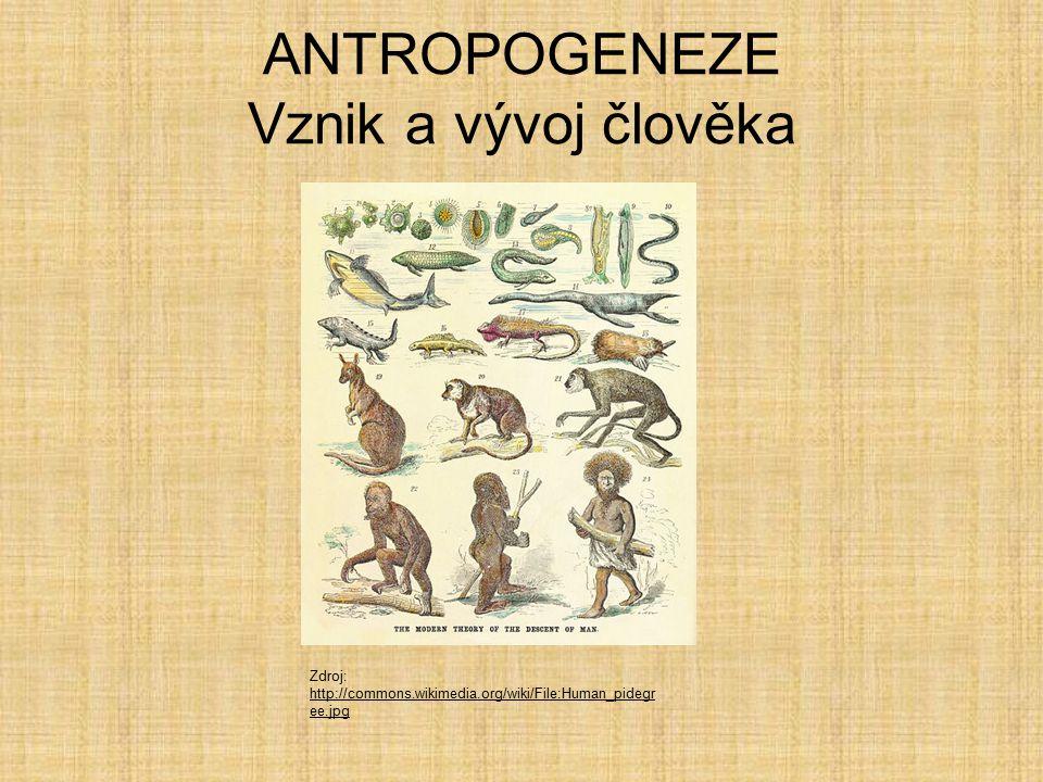 Australopithecus  Váha 45 kg, výška 140 cm Mozkovna 500 cm 3 Různé druhy Zdroj: http://commons.wikimedia.org/wiki/File:A.afarensis.jpg http://commons.wikimedia.org/wiki/File:A.afarensis.jpg