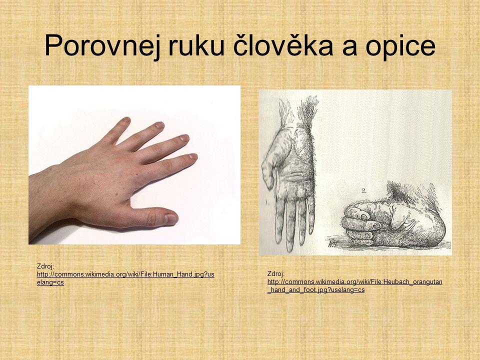 Porovnej ruku člověka a opice Zdroj: http://commons.wikimedia.org/wiki/File:Human_Hand.jpg?us elang=cs http://commons.wikimedia.org/wiki/File:Human_Hand.jpg?us elang=cs Zdroj: http://commons.wikimedia.org/wiki/File:Heubach_orangutan _hand_and_foot.jpg?uselang=cs http://commons.wikimedia.org/wiki/File:Heubach_orangutan _hand_and_foot.jpg?uselang=cs