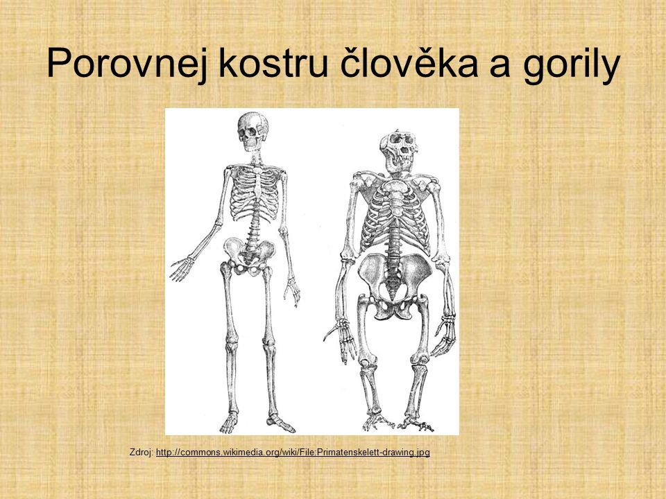 Porovnej kostru člověka a gorily Zdroj: http://commons.wikimedia.org/wiki/File:Primatenskelett-drawing.jpghttp://commons.wikimedia.org/wiki/File:Primatenskelett-drawing.jpg
