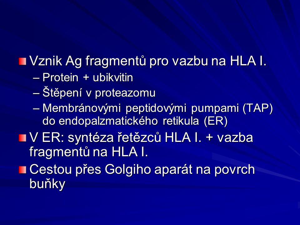 Vznik Ag fragmentů pro vazbu na HLA I.