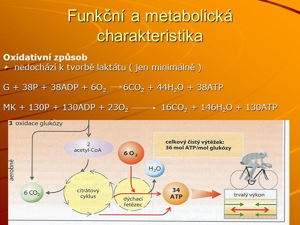 Adaptační změny Zásoby glykogenu o 100% aktivita enzymů dýchacího řetězce zvýšená aktivita lipázy zvýšení počtu mitochondrií vaskularizace svalů