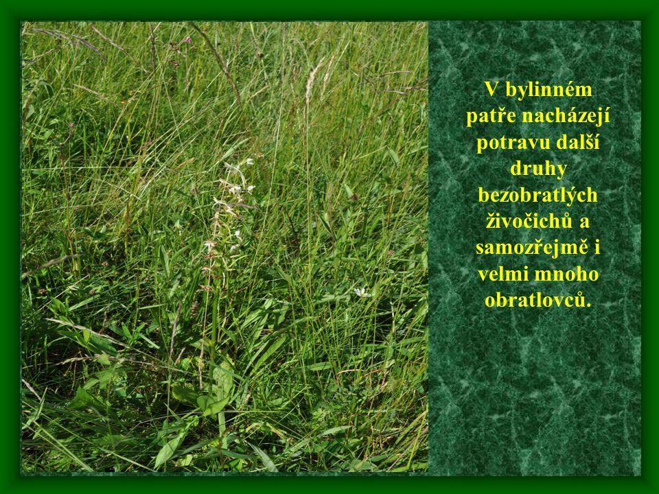 V bylinném patře nacházejí potravu další druhy bezobratlých živočichů a samozřejmě i velmi mnoho obratlovců.