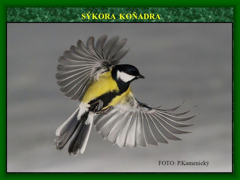 FOTO: P.Kamenický SÝKORA KOŇADRA