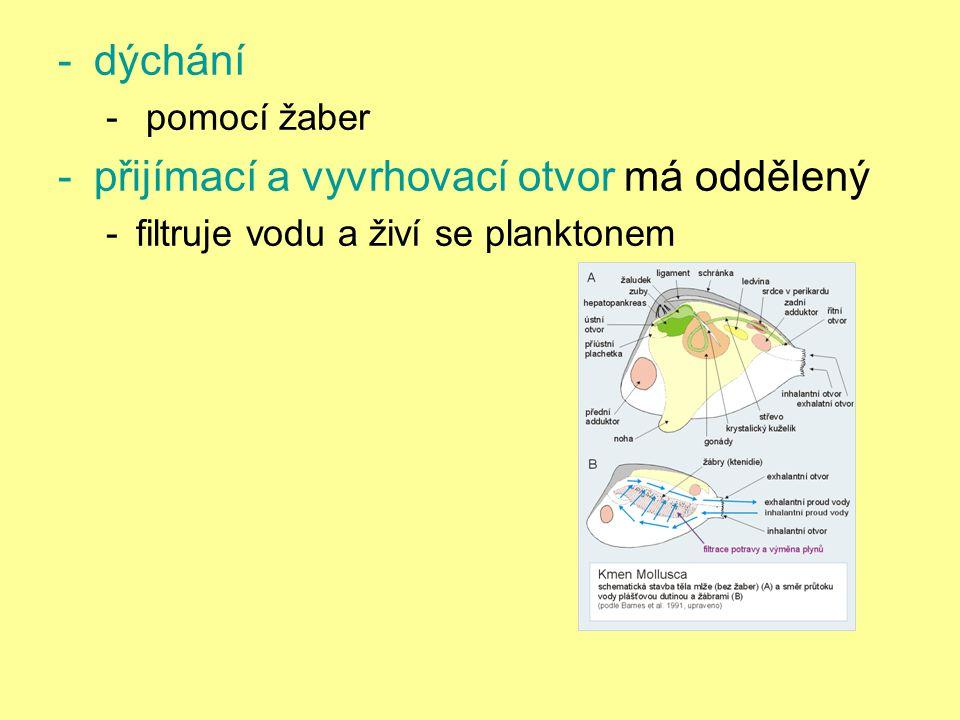-dýchání - pomocí žaber -přijímací a vyvrhovací otvor má oddělený -filtruje vodu a živí se planktonem