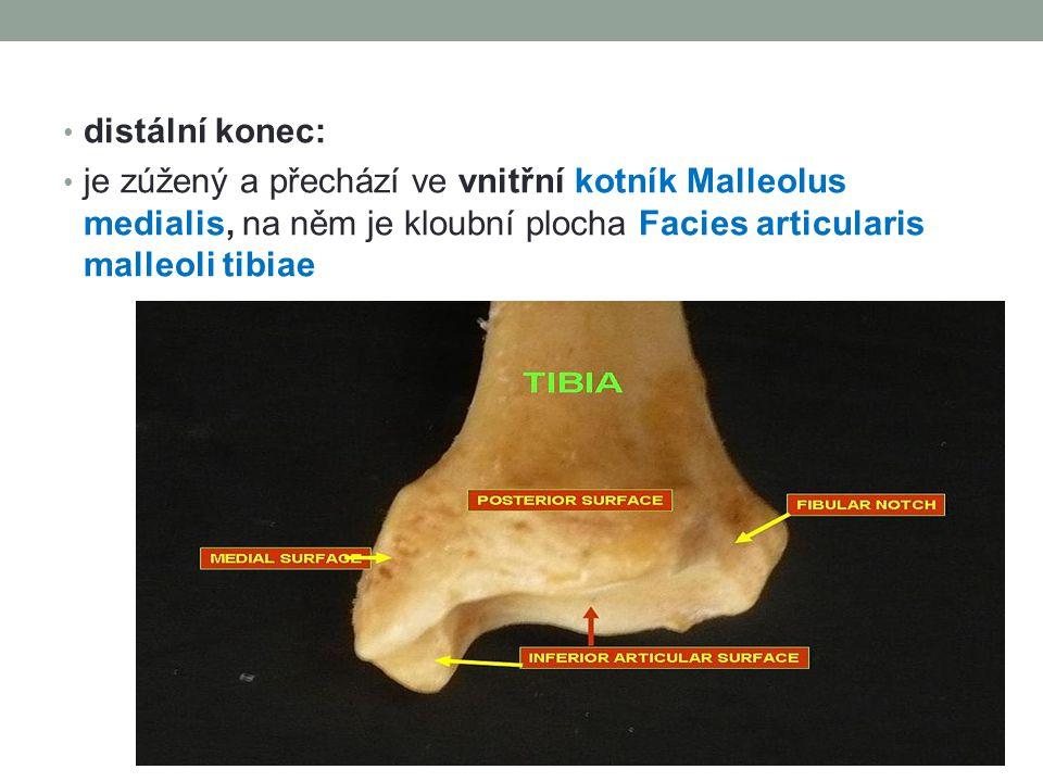 distální konec: je zúžený a přechází ve vnitřní kotník Malleolus medialis, na něm je kloubní plocha Facies articularis malleoli tibiae