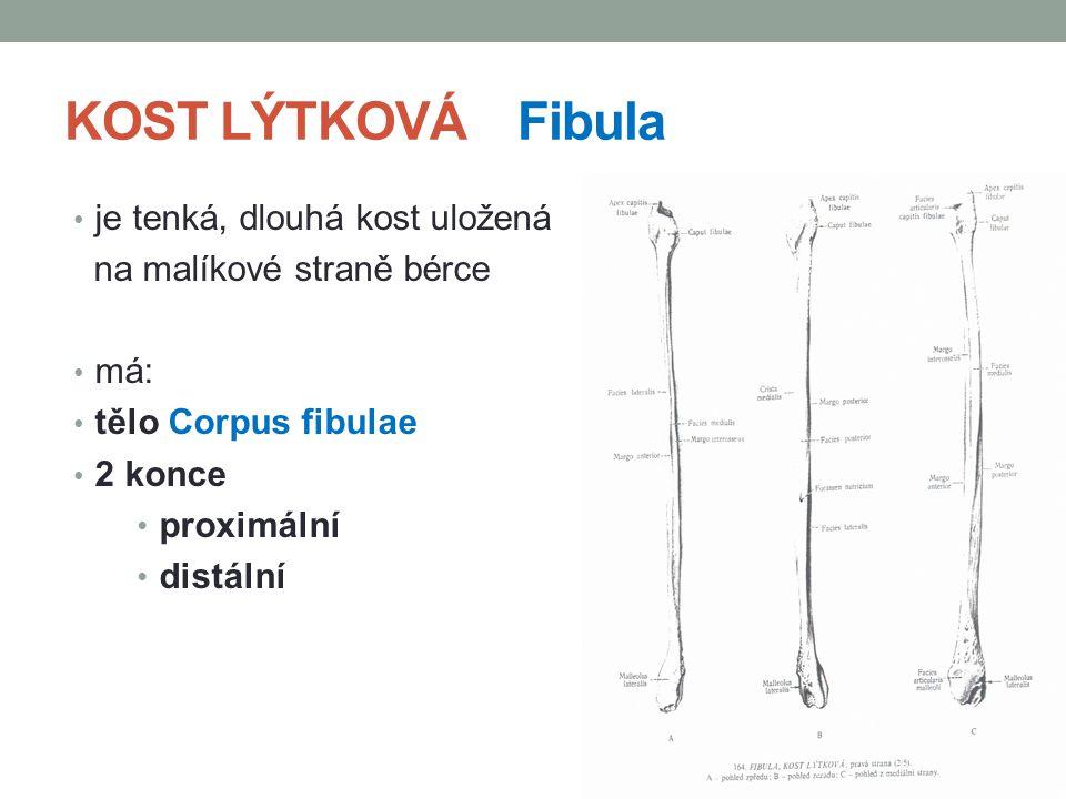 KOST LÝTKOVÁ Fibula je tenká, dlouhá kost uložená na malíkové straně bérce má: tělo Corpus fibulae 2 konce proximální distální