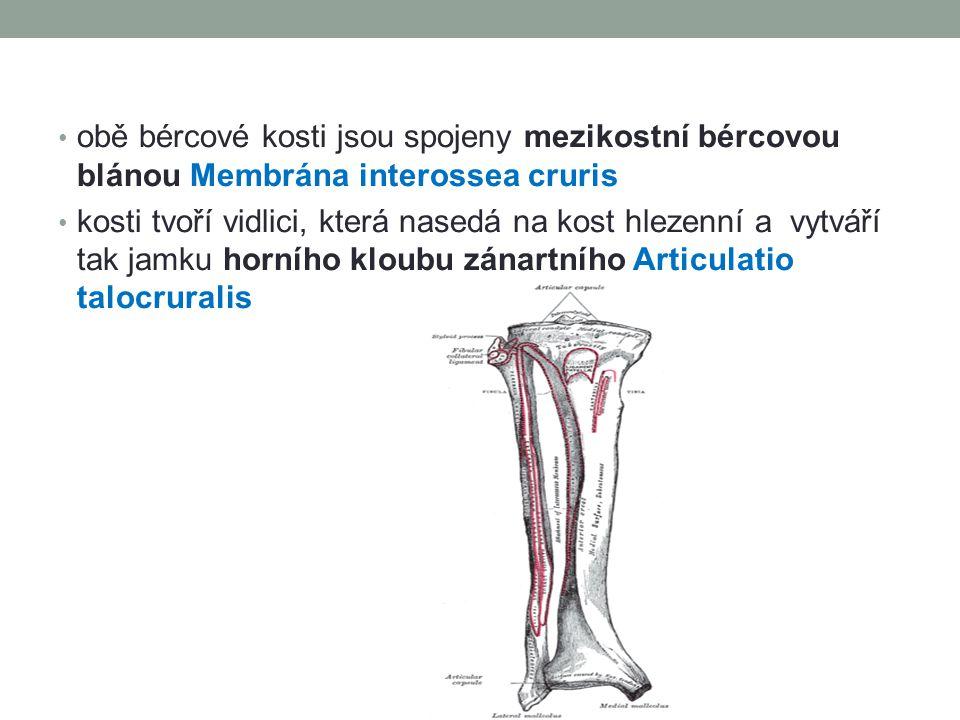 obě bércové kosti jsou spojeny mezikostní bércovou blánou Membrána interossea cruris kosti tvoří vidlici, která nasedá na kost hlezenní a vytváří tak