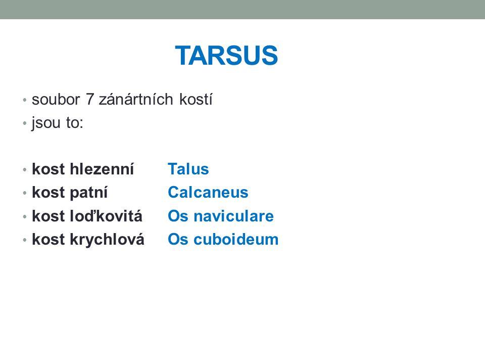 TARSUS soubor 7 zánártních kostí jsou to: kost hlezenní Talus kost patní Calcaneus kost loďkovitáOs naviculare kost krychlová Os cuboideum