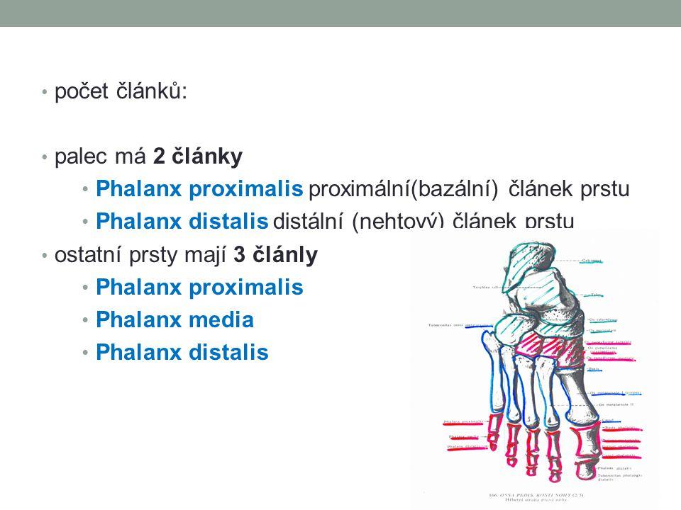 počet článků: palec má 2 články Phalanx proximalis proximální(bazální) článek prstu Phalanx distalis distální (nehtový) článek prstu ostatní prsty maj
