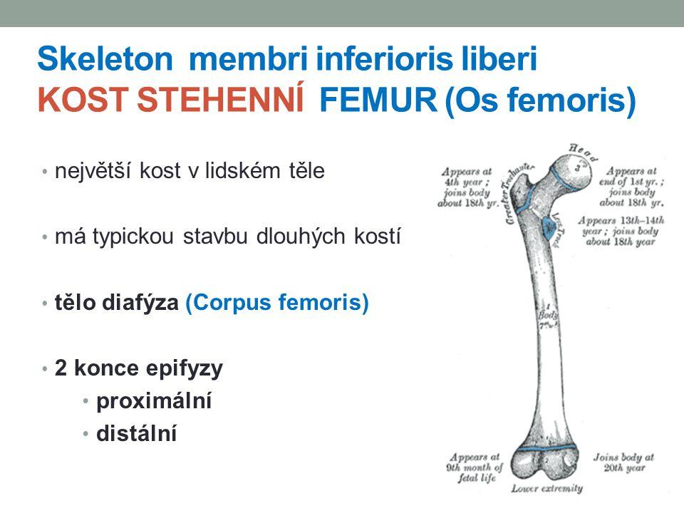 největší kost v lidském těle má typickou stavbu dlouhých kostí tělo diafýza (Corpus femoris) 2 konce epifyzy proximální distální Skeleton membri infer