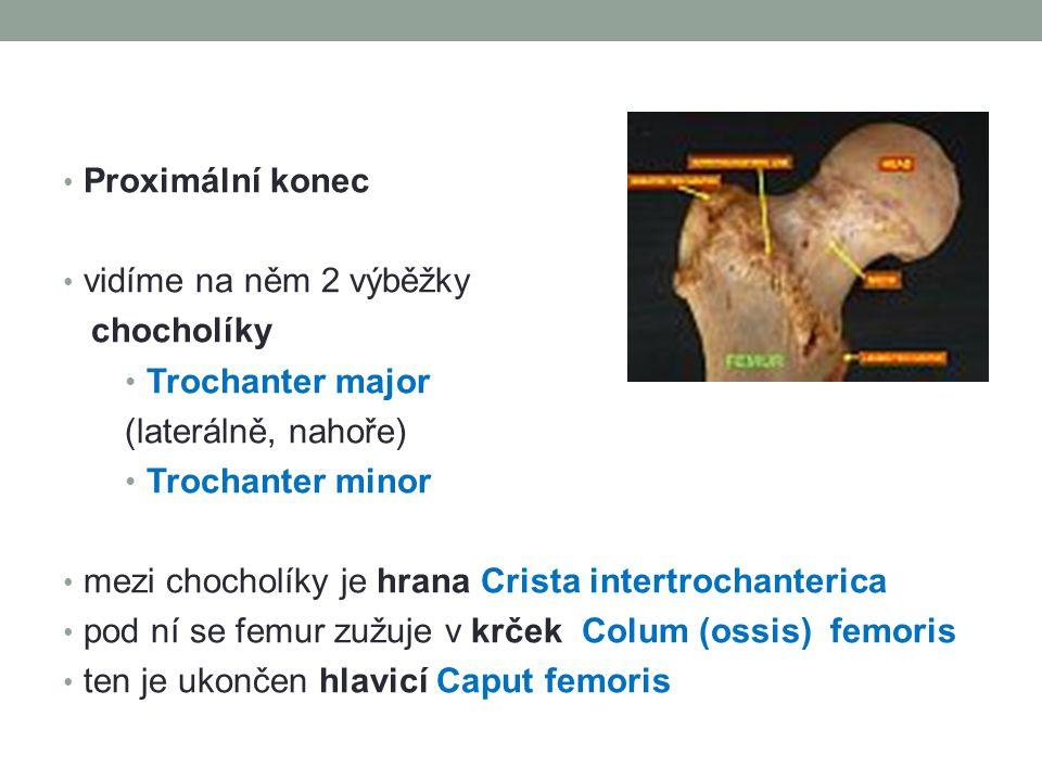 Proximální konec vidíme na něm 2 výběžky chocholíky Trochanter major (laterálně, nahoře) Trochanter minor mezi chocholíky je hrana Crista intertrochan