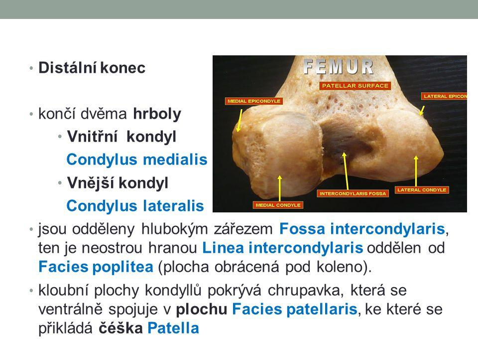 Distální konec končí dvěma hrboly Vnitřní kondyl Condylus medialis Vnější kondyl Condylus lateralis jsou odděleny hlubokým zářezem Fossa intercondylar