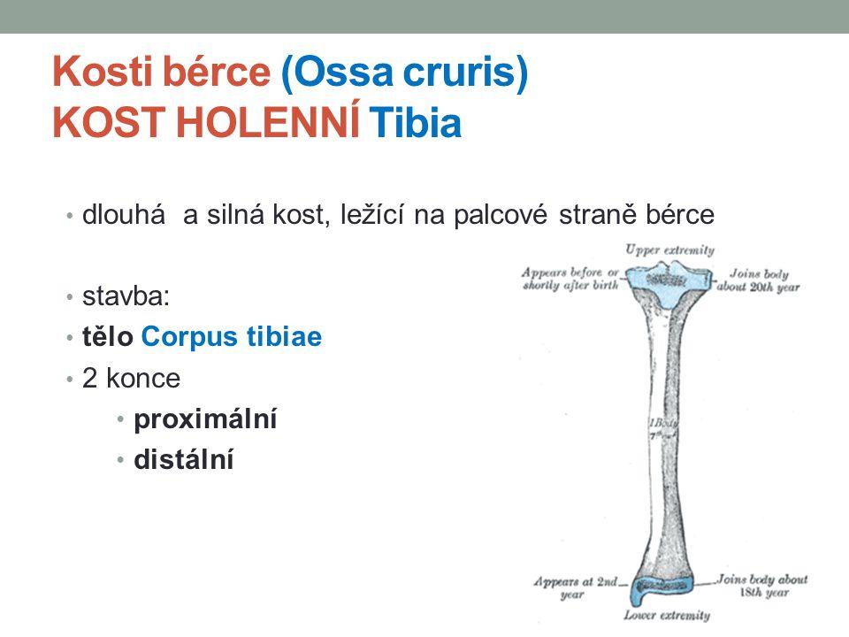 Kosti bérce (Ossa cruris) KOST HOLENNÍ Tibia dlouhá a silná kost, ležící na palcové straně bérce stavba: tělo Corpus tibiae 2 konce proximální distáln