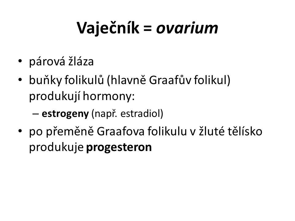 Vaječník = ovarium párová žláza buňky folikulů (hlavně Graafův folikul) produkují hormony: – estrogeny (např. estradiol) po přeměně Graafova folikulu