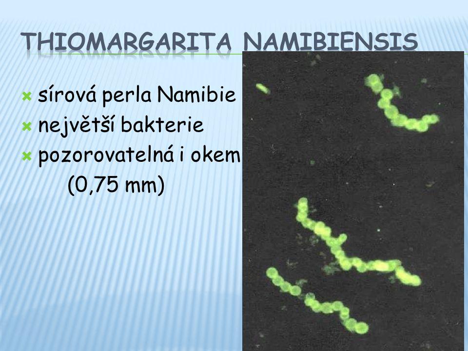  sírová perla Namibie  největší bakterie  pozorovatelná i okem (0,75 mm)