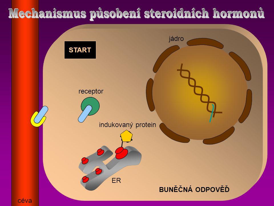BUNĚČNÁ ODPOVĚĎ START céva ER jádro receptor indukovaný protein