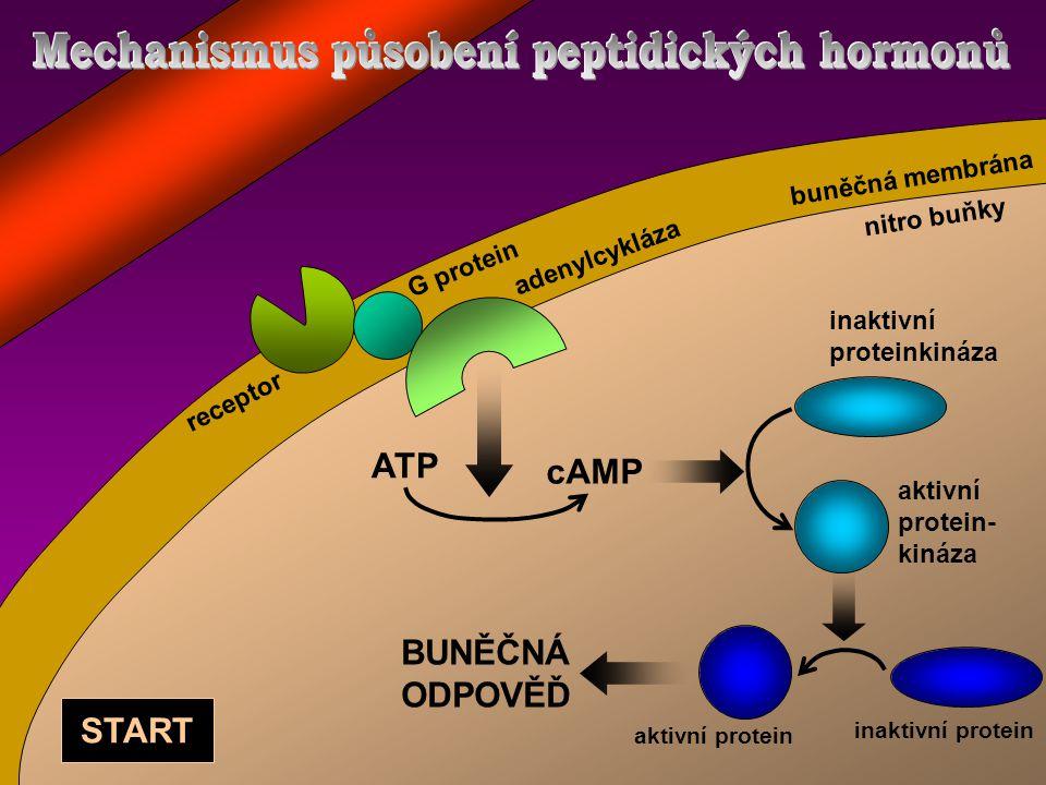 ATP cAMP inaktivní proteinkináza aktivní protein- kináza BUNĚČNÁ ODPOVĚĎ inaktivní protein aktivní protein adenylcykláza G protein receptor START buněčná membrána nitro buňky