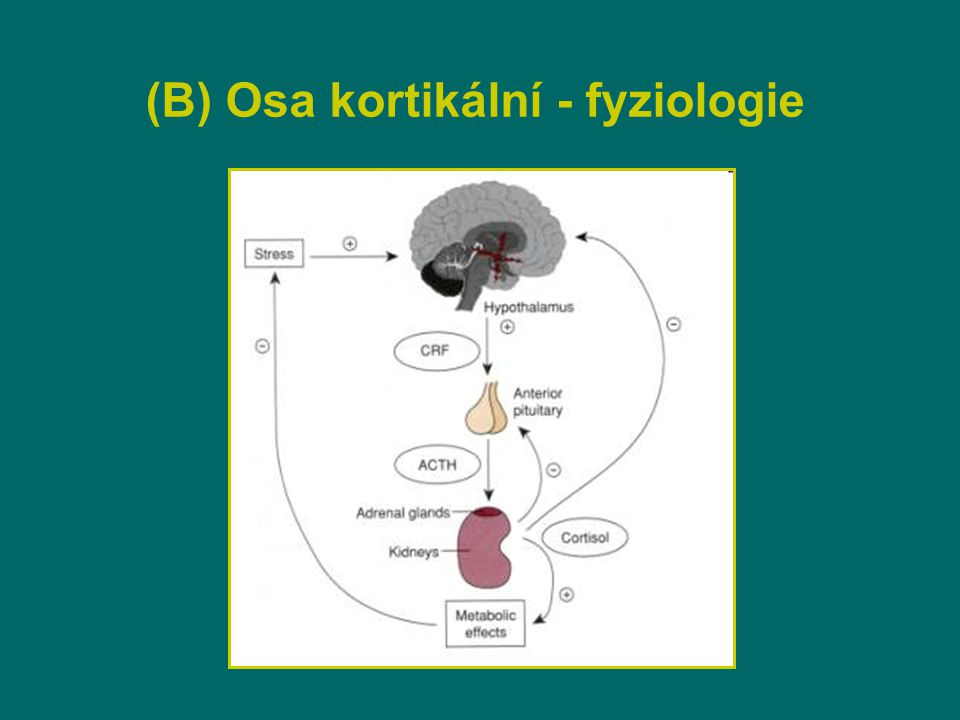 (B) Cirkadiánní Rytmus kortizolu