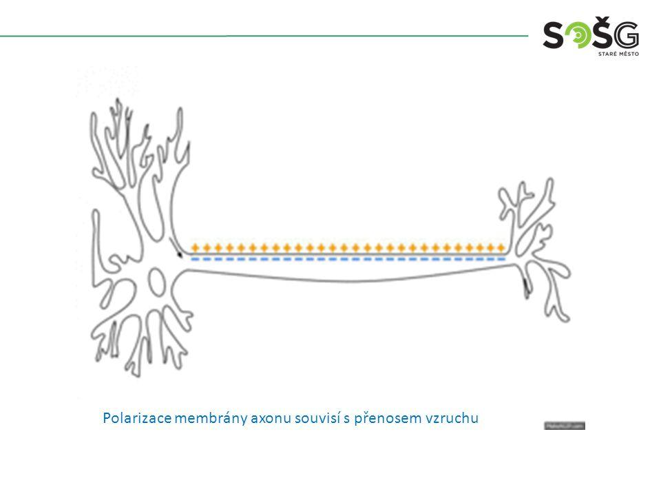 Polarizace membrány axonu souvisí s přenosem vzruchu