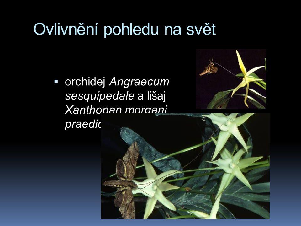 Ovlivnění pohledu na svět  orchidej Angraecum sesquipedale a lišaj Xanthopan morgani praedicta
