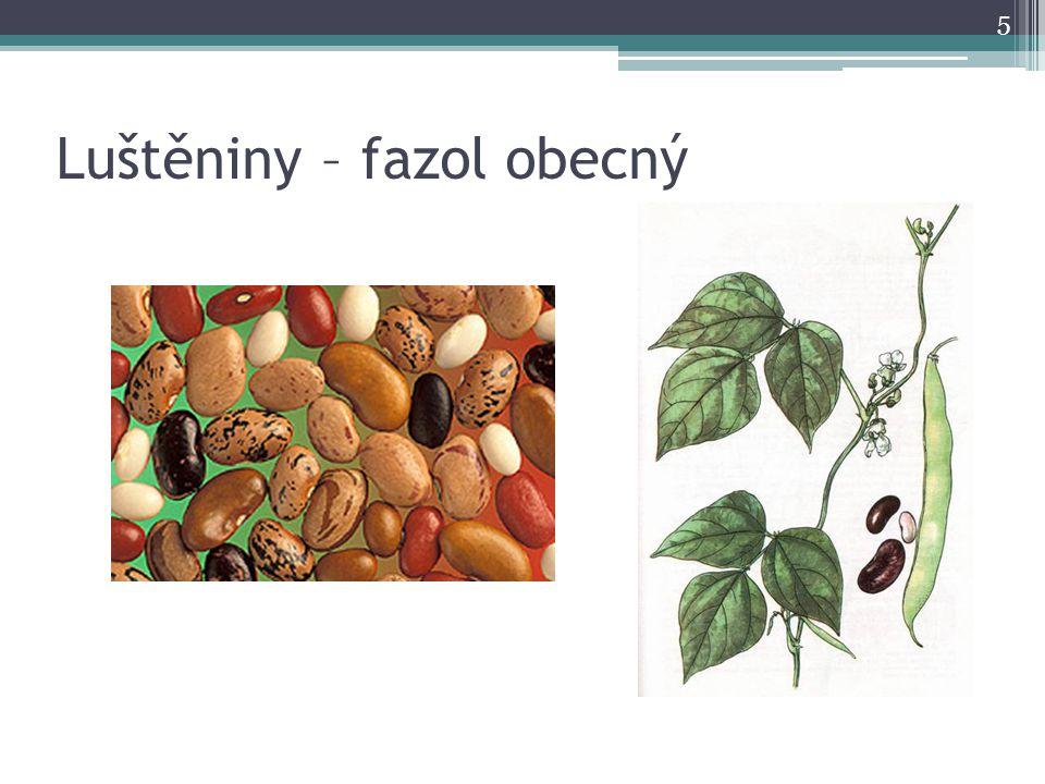 Luštěniny – fazol obecný 5