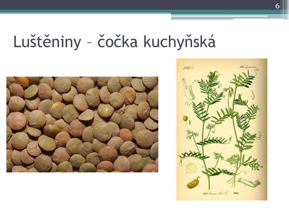 Luštěniny – čočka kuchyňská 6