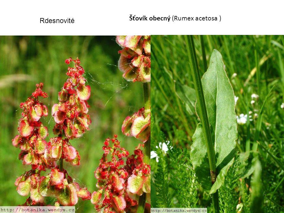 Šťovík obecný (Rumex acetosa ) Rdesnovité