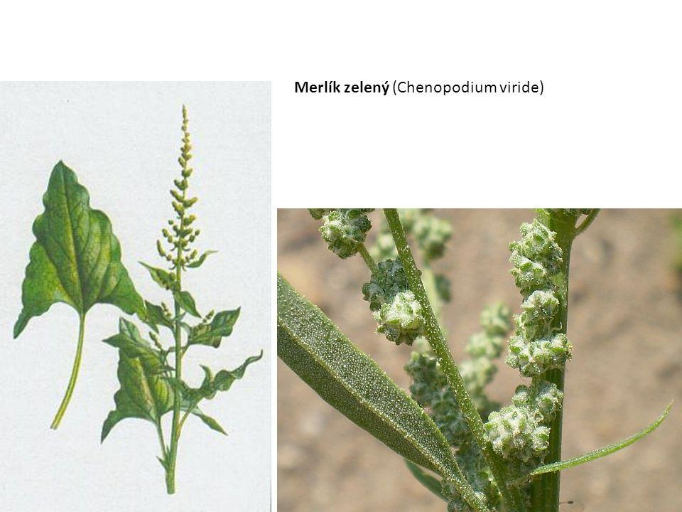 Merlík zelený (Chenopodium viride)