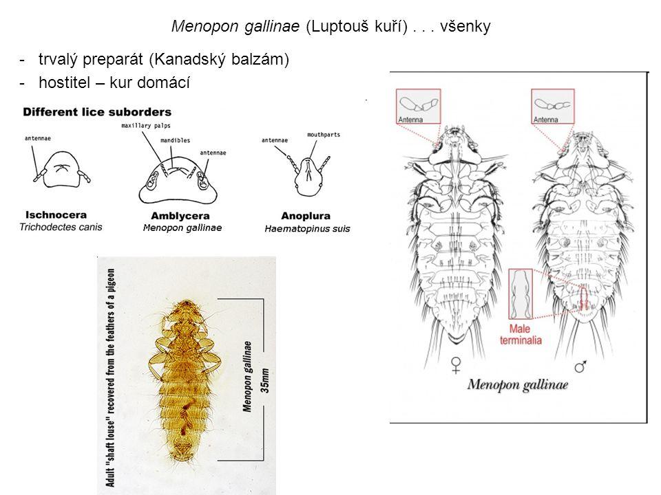 -trvalý preparát (Kanadský balzám) -hostitel – kur domácí Menopon gallinae (Luptouš kuří)... všenky