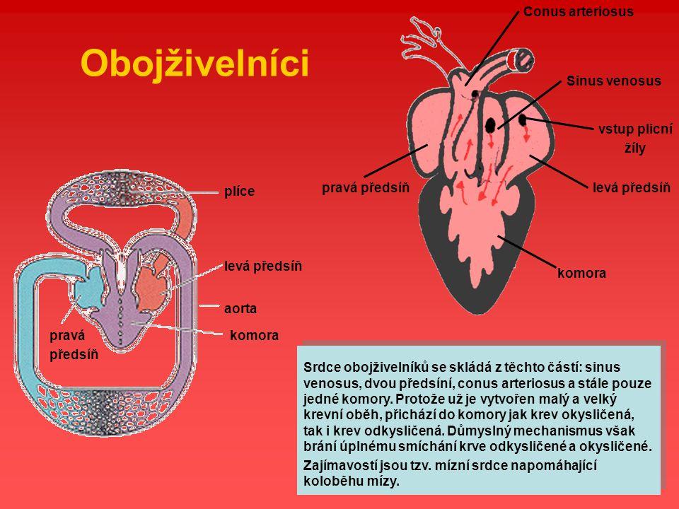 Obojživelníci Sinus venosus levá předsíň vstup plicní žíly pravá předsíň komora Conus arteriosus plíce levá předsíň pravá předsíň komora aorta Srdce o