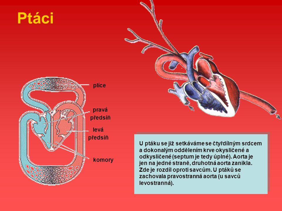 Ptáci plíce pravá předsíň levá předsíň komory U ptáku se již setkáváme se čtyřdílným srdcem a dokonalým oddělením krve okysličené a odkysličené (septu