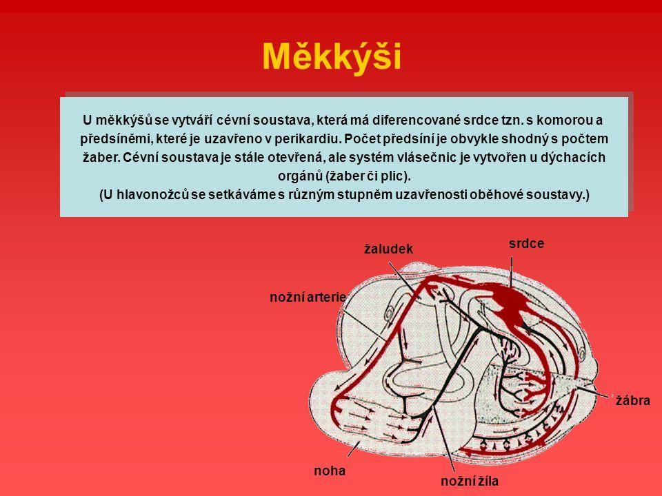 nožní žíla žaludek nožní arterie noha srdce žábra Měkkýši U měkkýšů se vytváří cévní soustava, která má diferencované srdce tzn. s komorou a předsíněm