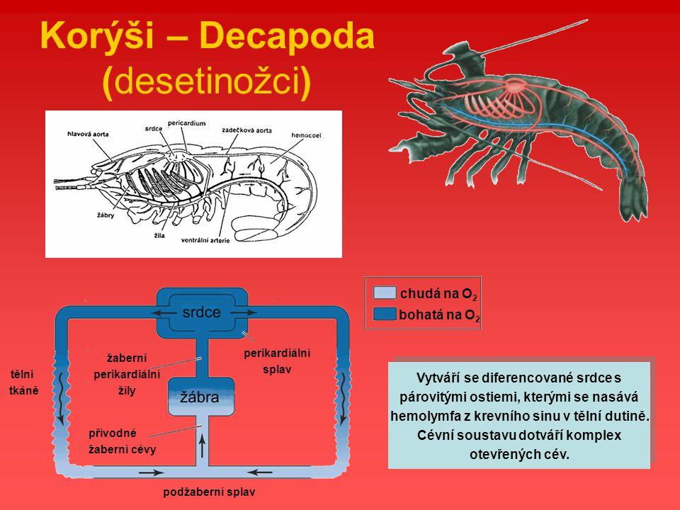 Korýši – Decapoda (desetinožci) Vytváří se diferencované srdce s párovitými ostiemi, kterými se nasává hemolymfa z krevního sinu v tělní dutině. Cévní